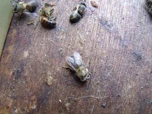 Beschadigde bijen